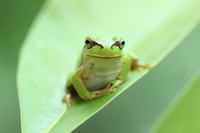 Japanese tree frog smile Stock photo [3248461] Japanese