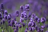 Lavender dark purple Stock photo [3250340] Lavender