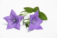 Platycodon grandiflorum a. DC Stock photo [3250992] Platycodon