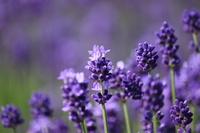 Up of lavender dark purple Stock photo [3254211] Lavender