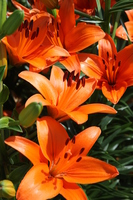 5-wheel orange lily flower Stock photo [3346242] Lily