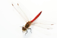 Systemic white back of the red dragonfly Stock photo [3346304] Insect
