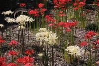 Red and white amaryllis Stock photo [3350043] Amaryllis