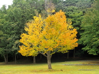 Katsura tree yellow leaves Stock photo [3350522] Katsura