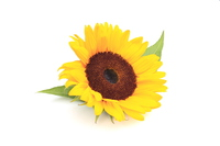 Sunflower Stock photo [3351117] Sunflower