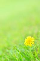 Dandelion blooming in grassland Stock photo [3434309] Dandelion