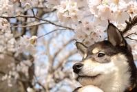 Sakura and Shiba Inu Stock photo [3639061] Cherry