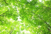 新緑のブナの葉 新潟県 美人林