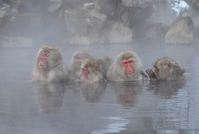 Snow Monkey wild entering the hot spring Stock photo [3641209] Monkey