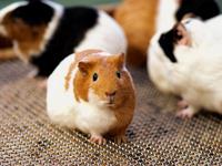 Guinea pig Stock photo [3648805] Guinea