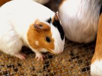 Guinea pig Stock photo [3648812] Guinea