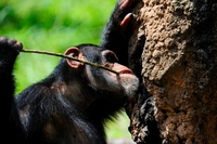 Chimpanzee to extract the honey from artificial ant mound Stock photo [3648840] Chimpanzee
