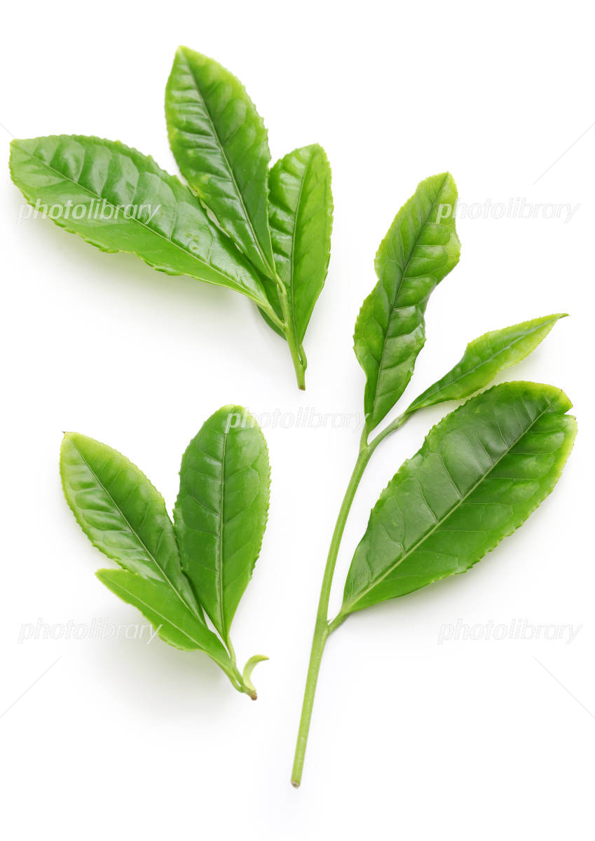 Leaves of tea Photo