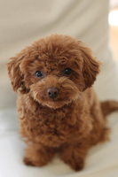 A toy poodle Stock photo [3748076] Toipu