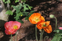 Two colors poppy Stock photo [3753156] Poppy