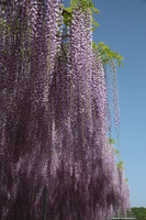 Fuji dancing in the blue sky Stock photo [3859078] Wisteria