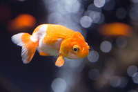 Goldfish Stock photo [3861322] Cute