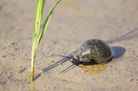Apple snail Stock photo [3864876] Apple