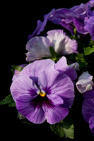 Pansy Stock photo [3963274] Pansy