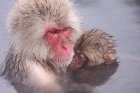 Mother and child of Snow Monkey (Jigokudani Monkey Park) Stock photo [3971939] Snow