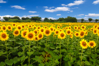 Sunflower field Stock photo [4050032] Sunflower