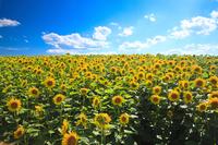Hokkaido of sunflower field Stock photo [4050085] Sunflower