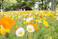 Poppy fields of Showa Memorial Park Stock photo [4051629] Poppy