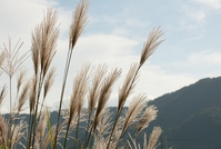 Japanese silver grass Stock photo [4055592] Japanese