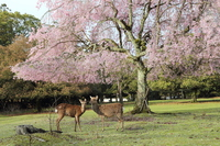 Nara Park deer with your Kappa Sakura Stock photo [4170968] deer