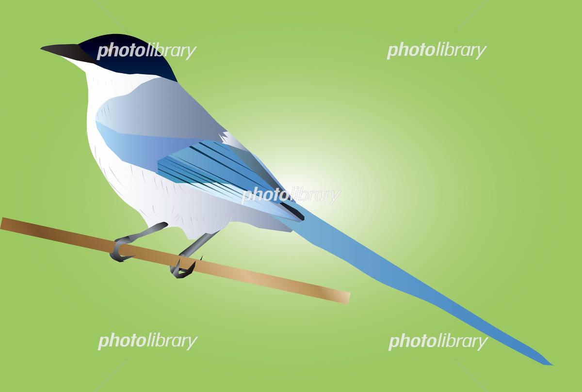 オナガ イラスト素材 4214255 フォトライブラリー Photolibrary