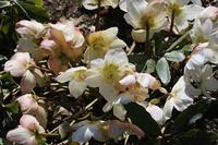 Christmas Rose in full bloom Stock photo [4266517] Christmas