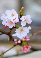 Prunus yedoensis Stock photo [4339405] flower