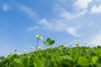 Four-leaf clover and blue sky Stock photo [4342749] four