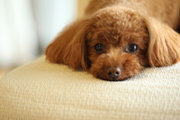 toy poodle Stock photo [4343224] Small