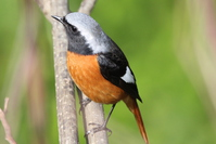 Redstart perched on twigs that extends to the promenade beside the creek Stock photo [4343964] Nature