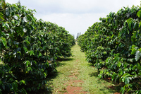 Coffee farm Stock photo [4420899] Coffee