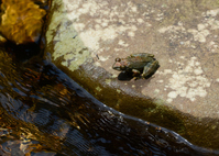Clear stream and kajika frog Stock photo [4509928] Kajika