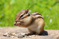 Chipmunk Stock photo [4513948] Chipmunk