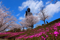 Two kinds of cherry blossoms and the Great Buddha Stock photo [4588262] Moss