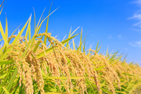 Harvest of autumn rice Stock photo [4644173] Ear