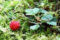 Wild Strawberries Stock photo [150613] Fragaria