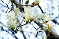 Magnolia flowers Stock photo [4714183] Magnolia