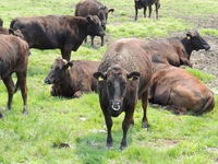 Japanese beef in grazing Stock photo [4719132] cow