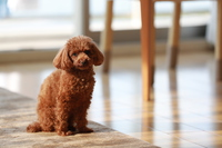 toy poodle Stock photo [4797935] Small