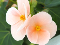Begonia Stock photo [4894078] Begonia