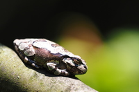 Japanese tree frog (mimicry) Stock photo [4895884] Frog