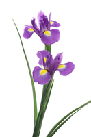 Iris Stock photo [4903041] Iris