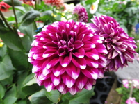 Dahlia Stock photo [5003956] Gift