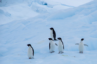 Adelie Penguin Stock photo [5007382] Penguin