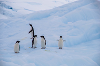 Adelie Penguin Stock photo [5007444] Nature